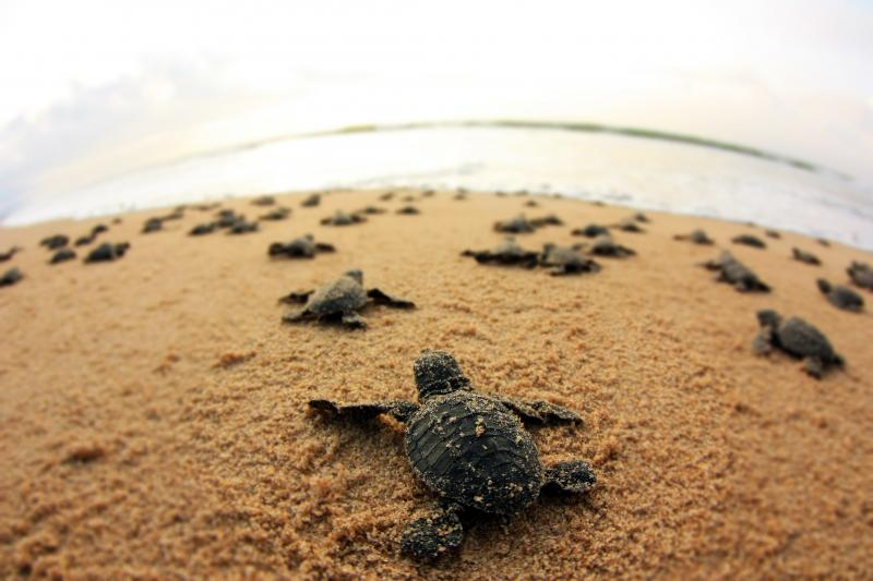 Olive Ridley Turtles, Volunteer Travel India