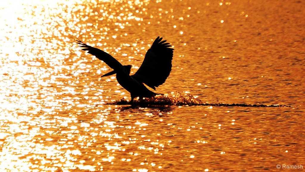 A Pelican landing on the Kolleru lake (Credits: Source)