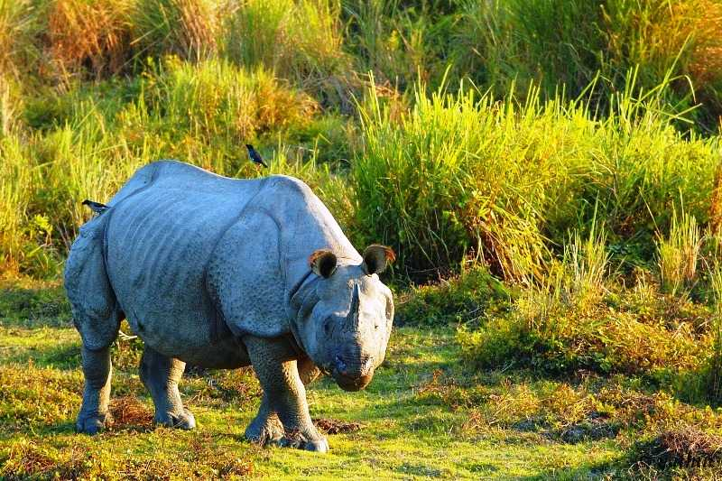 Kaziranga Wild Life Sanctuary, located in the Northeastern state of Assam in the flood plains of the Brahmaputra River's south bank, was declared a World Heritage Site by UNESCO in 1985 for its unique natural environment. It was first established as a reserved forest in 1908 to protect the dwindling species of Rhinoceros. It underwent several transformations over the years, as The Kaziranga Game Sanctuary in 1916, renamed as Kaziranga Wild Life Sanctuary in 1950, and declared a national park in 1974. The park, which covers an area of 42,996 hectares (106,250 acres), has the distinction of being home to the world's largest population of the Great Indian One-Horned Rhinoceros. There are many other mammals and birds species in the sanctuary.