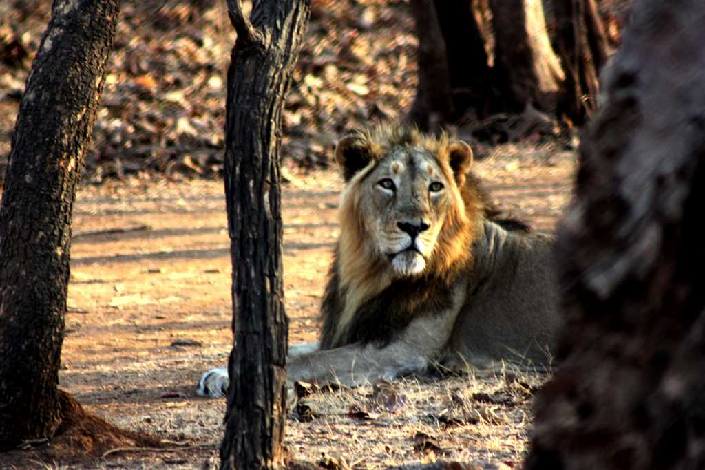 Gir, places to visit in winter in India.