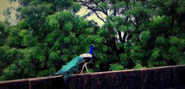 Nawalgarh, Offbeat Rajasthan Diaries: Rendezvous with a Dancing Peacock
