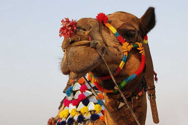 Bikaner Camel Festival celebration Fair in desert
