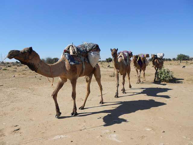 Camel Safari, Jaisalmer Desert Safari