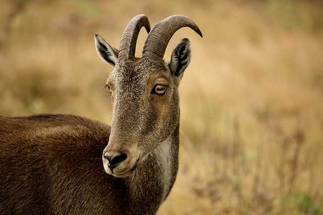 Nilgir Tahr  Source
