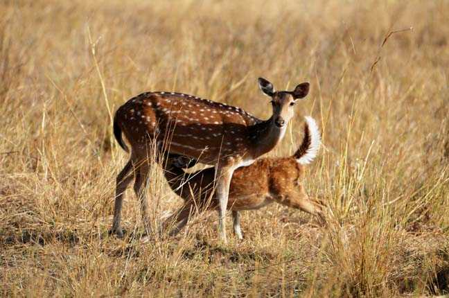 Deer at Bandhavgarh, Tiger Reserves of India
