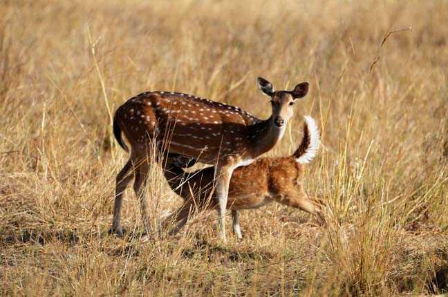 Deer at Bandhavgarh, Tiger Reserves of India