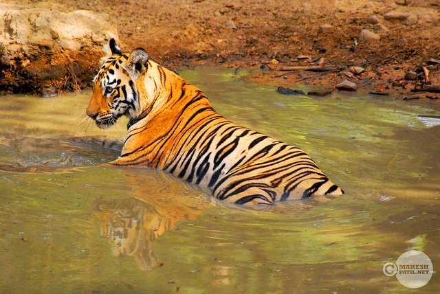 Nagzira Wildlife sanctuary, Tiger reserves of India
