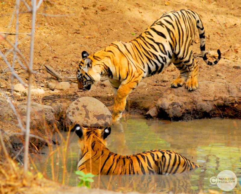 Tadoba Tiger reserve, Tiger reserves of India