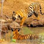 Best Tiger Reserves in India: Best Places to Go Tiger Spotting