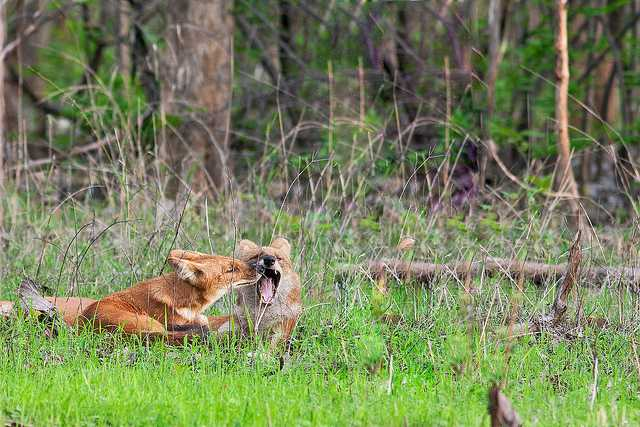 Wild dogs at Pench Tiger reserve of India