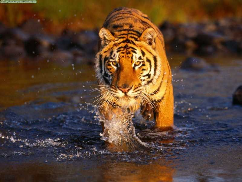 Sunbdarbans Tiger Reserve: Tiger reserves in India