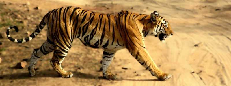 bandhavgarh, Tiger reserves in India