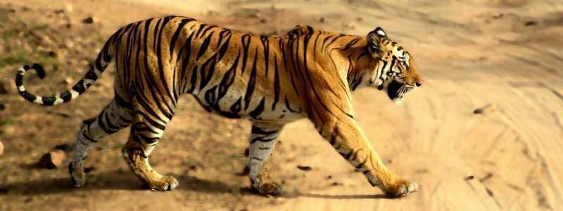 bandhavgarh, Tiger reserves in India