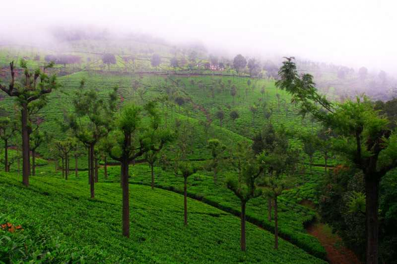 Tea estates in Coonoor in tamil Nadu