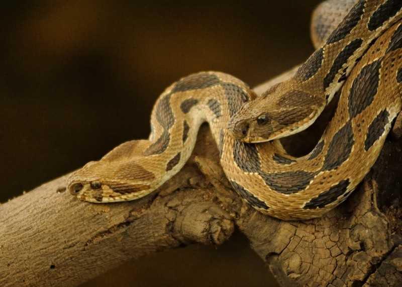 Katraj snake park - Russel's viper