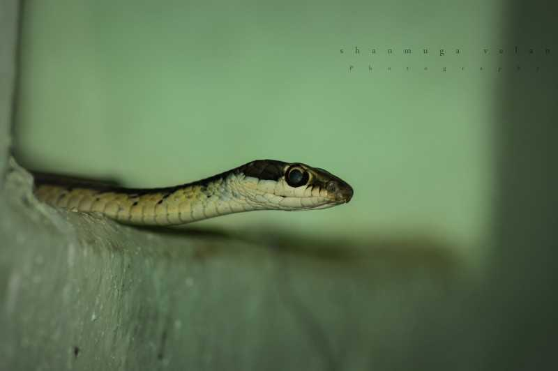 Guindy National Park - Indo-Chinese rat snake