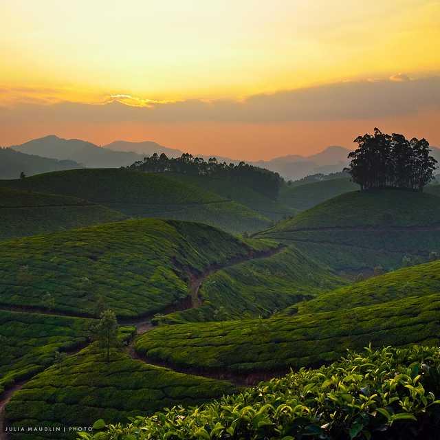Kanan Devan, tea plantation in India