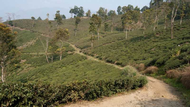 Glenburn Tea Estate, tea plantation in India