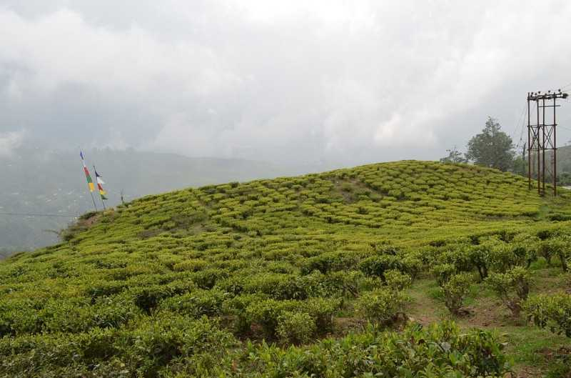 Happy Valley Tea Estate, Tea plantation in India