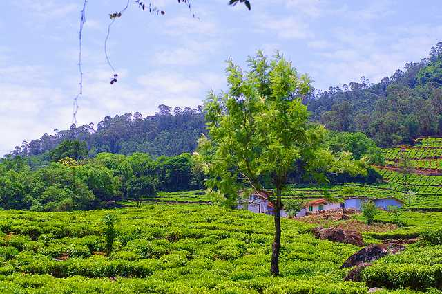 Nilgiri Hills, best tea plantation in India