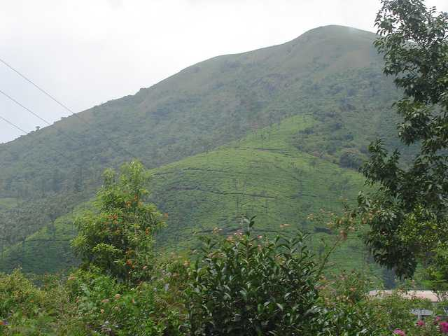 tea estate at Chikmagalur, tea plantation in India