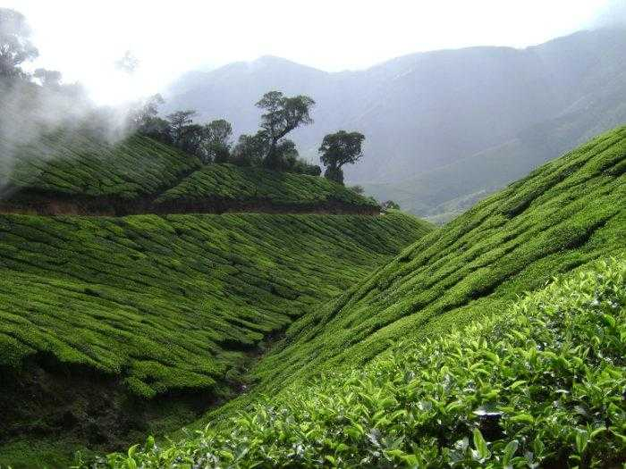 Kolukkumalai, Tea plantation in India