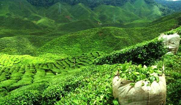 Gatoonga, Tea plantation in india