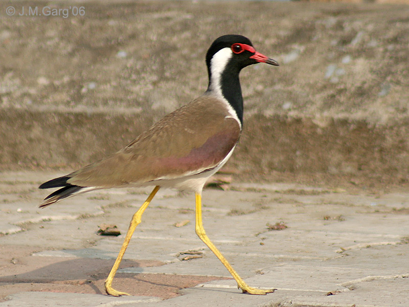 Red Wattled Lapwing at Nanmangalam Reserve Forest  Source