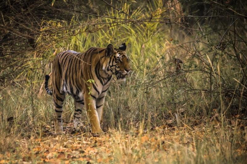 A Royal Bengal Tiger at Bandhavgarh National Park