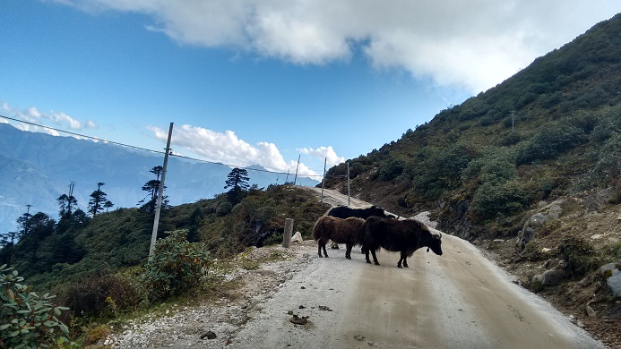 Yaks on the road, some of the very few we saw