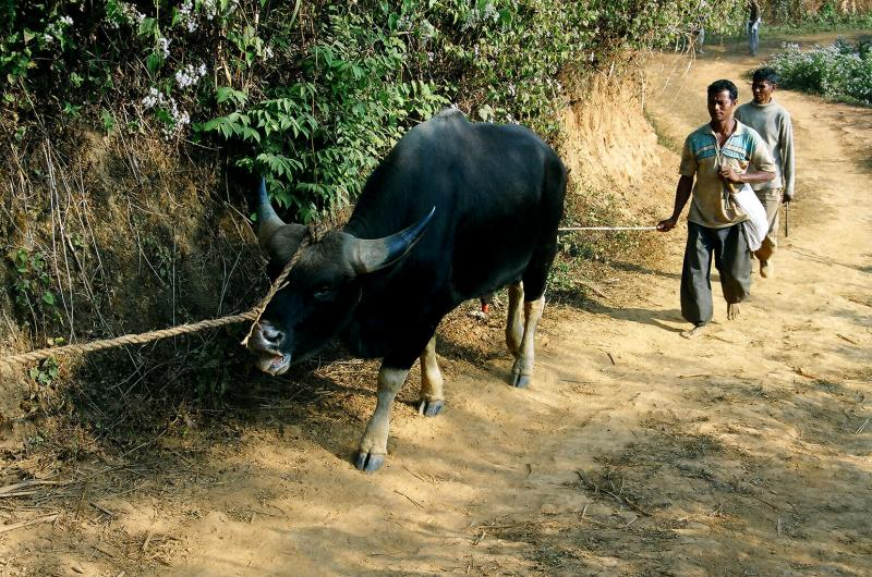 Mithun- Main source of meat in Arunachal.