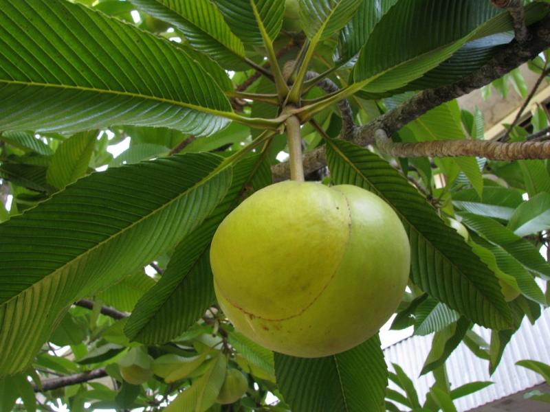 Elephant Apple Fruit, Food of Assam