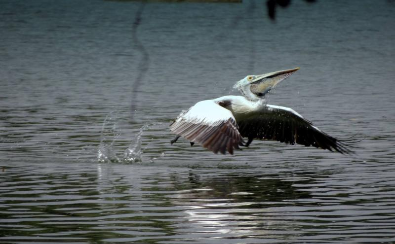 Pelican, eco tourism in India