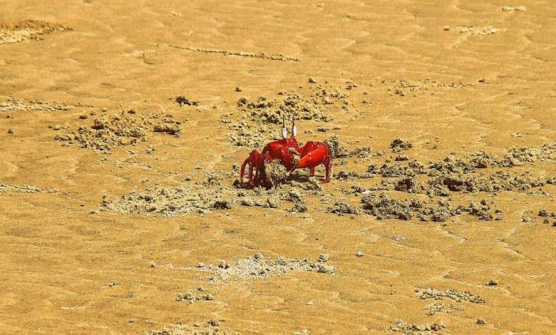 Red crab, henry island, sundarban