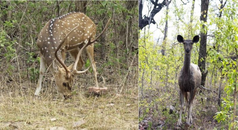 Spotted deer and black Sambar deer
