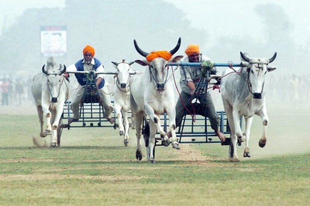 Bullock cart race at Kila raipur sports festival