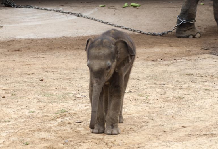 Great grand child of Vatsala – the oldest elephant