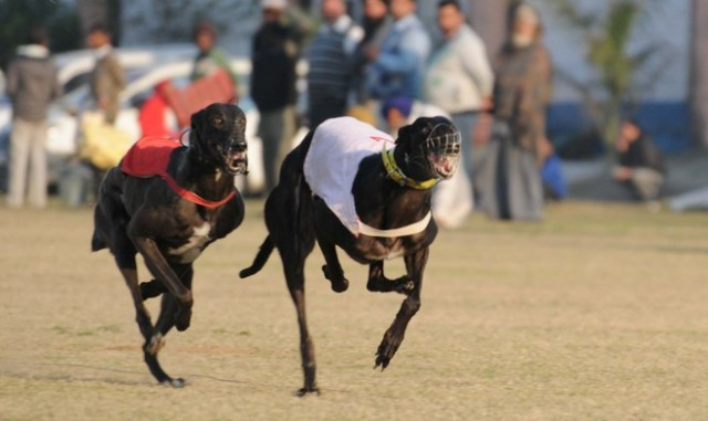 Dog Race at Kila Raipur sports festival