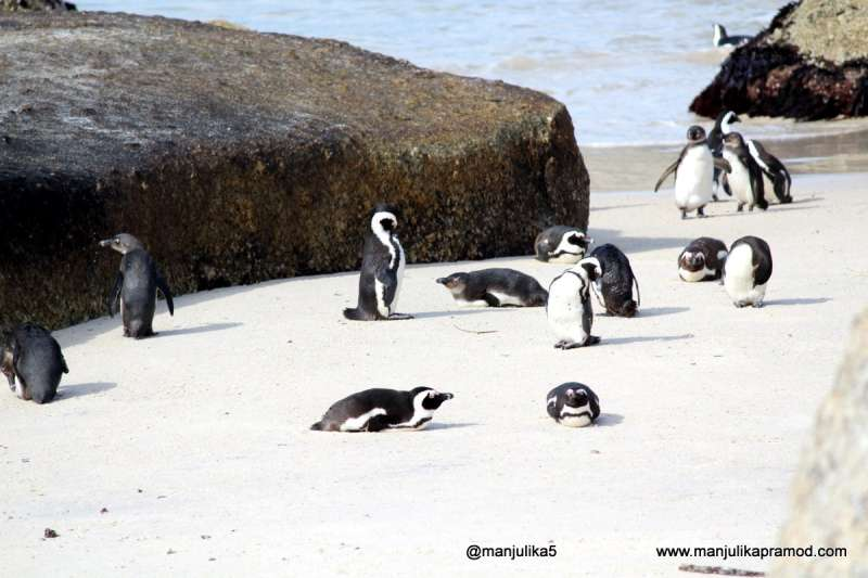 The-penguins-colony-at-Boulders-beach