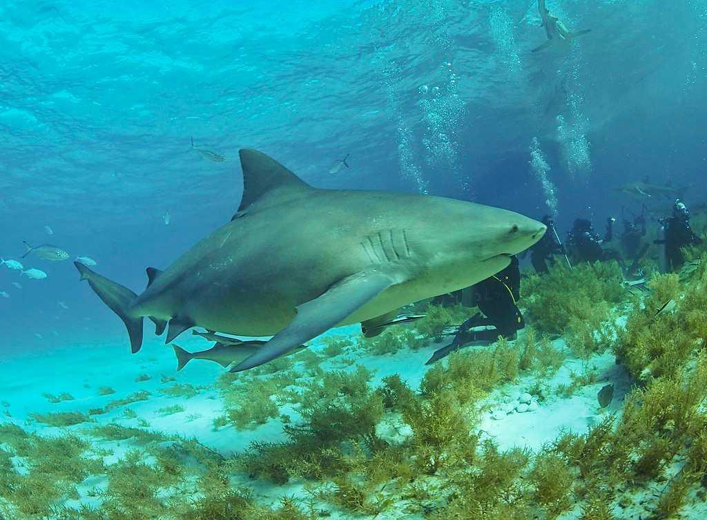 Bull Sharks, Wildlife in Singapore