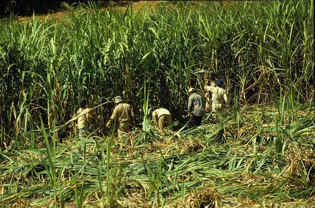 Sugarcane harvesting in Mauritius, Food in Mauritius