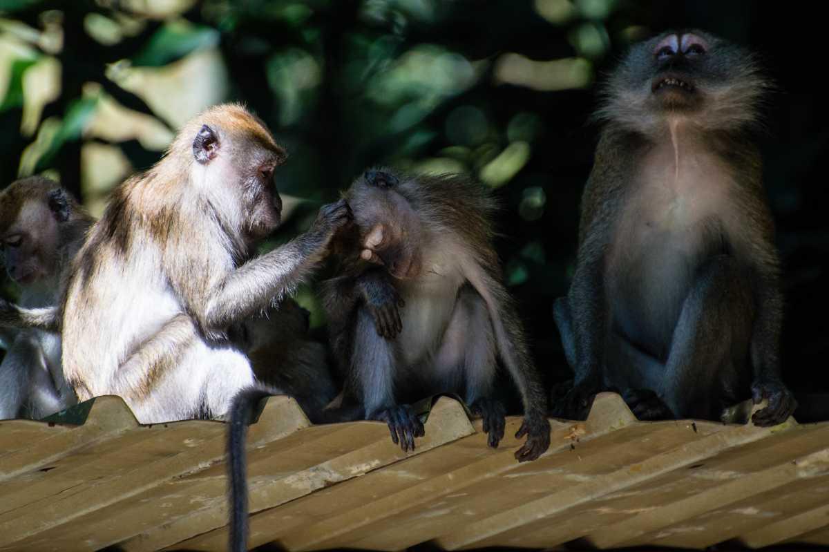 Monkeys at Bukit Timah Nature Reserve