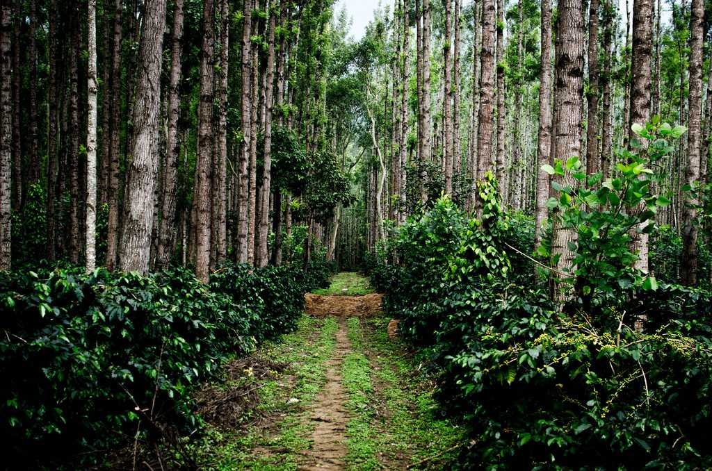 Chikmagalur's Coffee Plantations