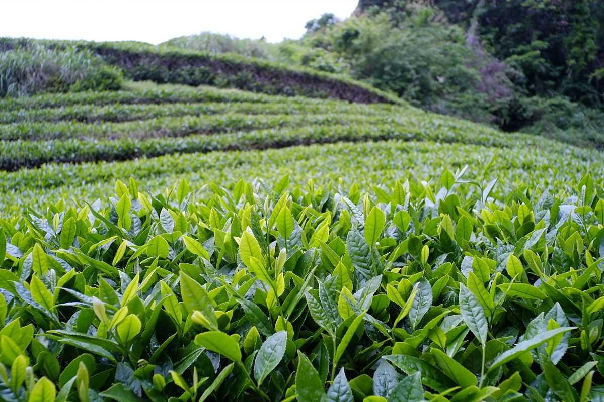 Tea plantations in Tripura