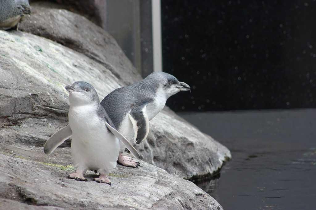 Little Blue Penguins at IAC