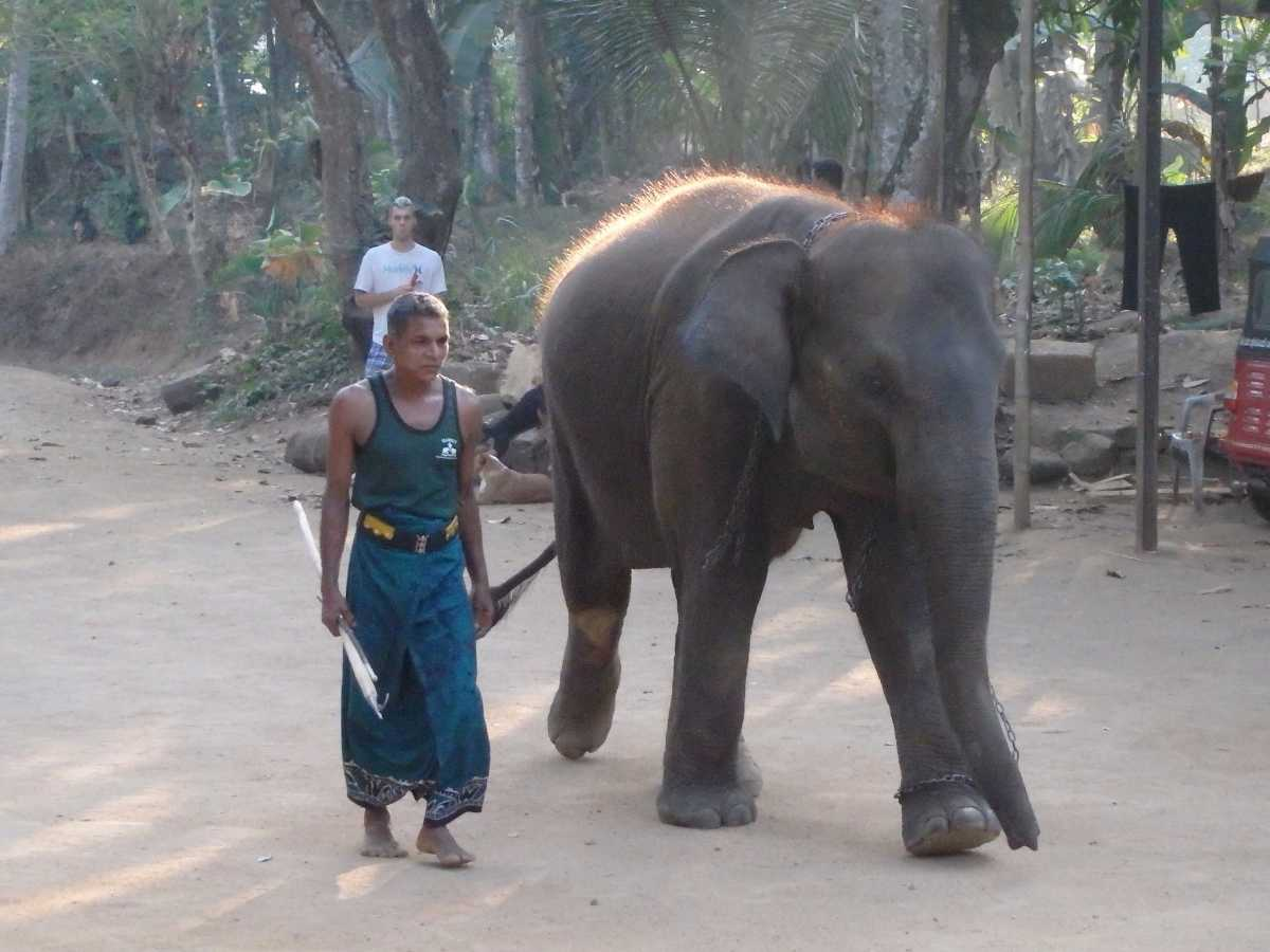 Millennium Elephant Foundation, Elephants in Sri Lanka