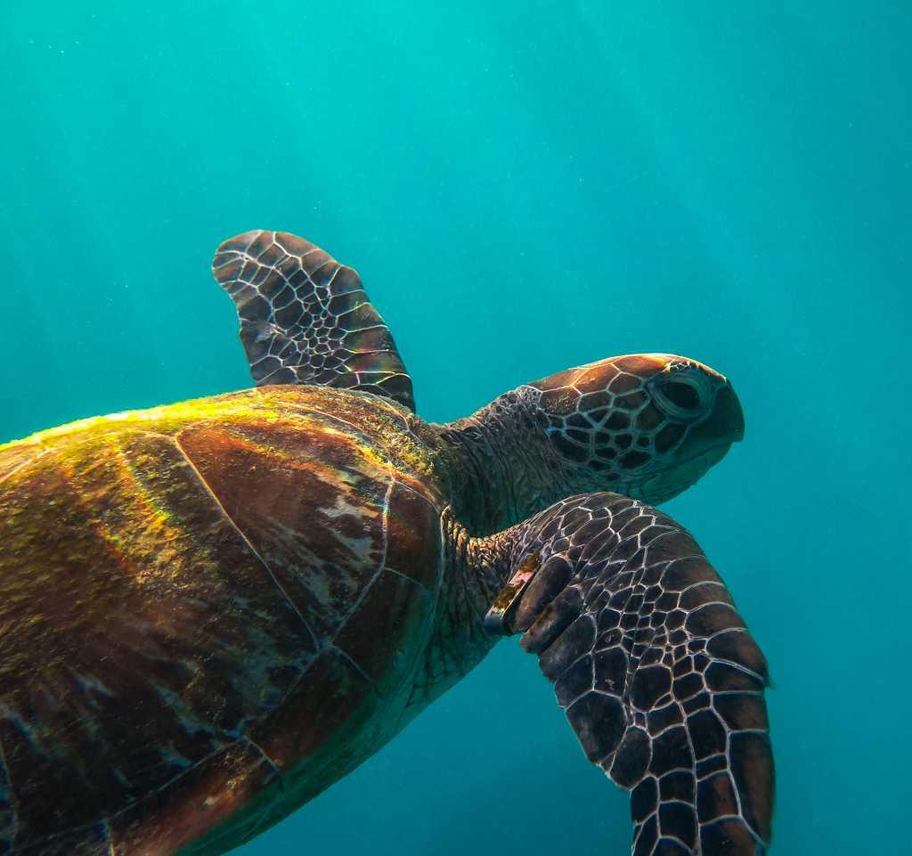Green turtle in Maldives