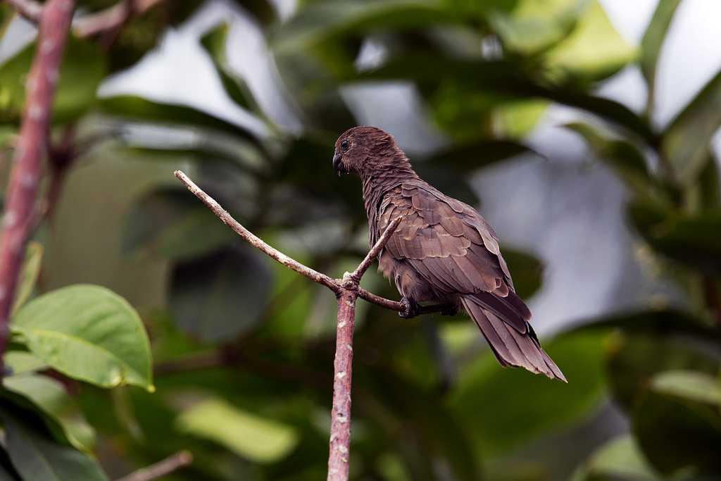 Seychelles Black Parrot at Glacis Noire