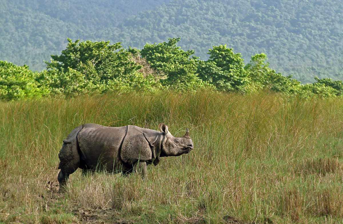 Rhinos wandering around the park