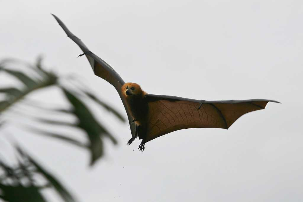 Black Spined Flying Fox, Wildlife in Mauritius